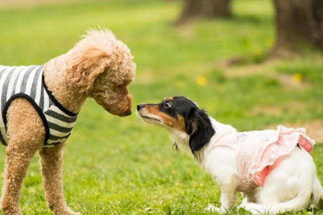 二匹の犬が鼻を合わせようとしている