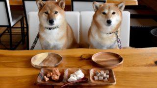 ご飯ののったテーブルの椅子で待てをしている2匹の犬