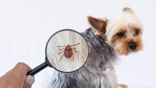 愛犬のノミを虫眼鏡で拡大