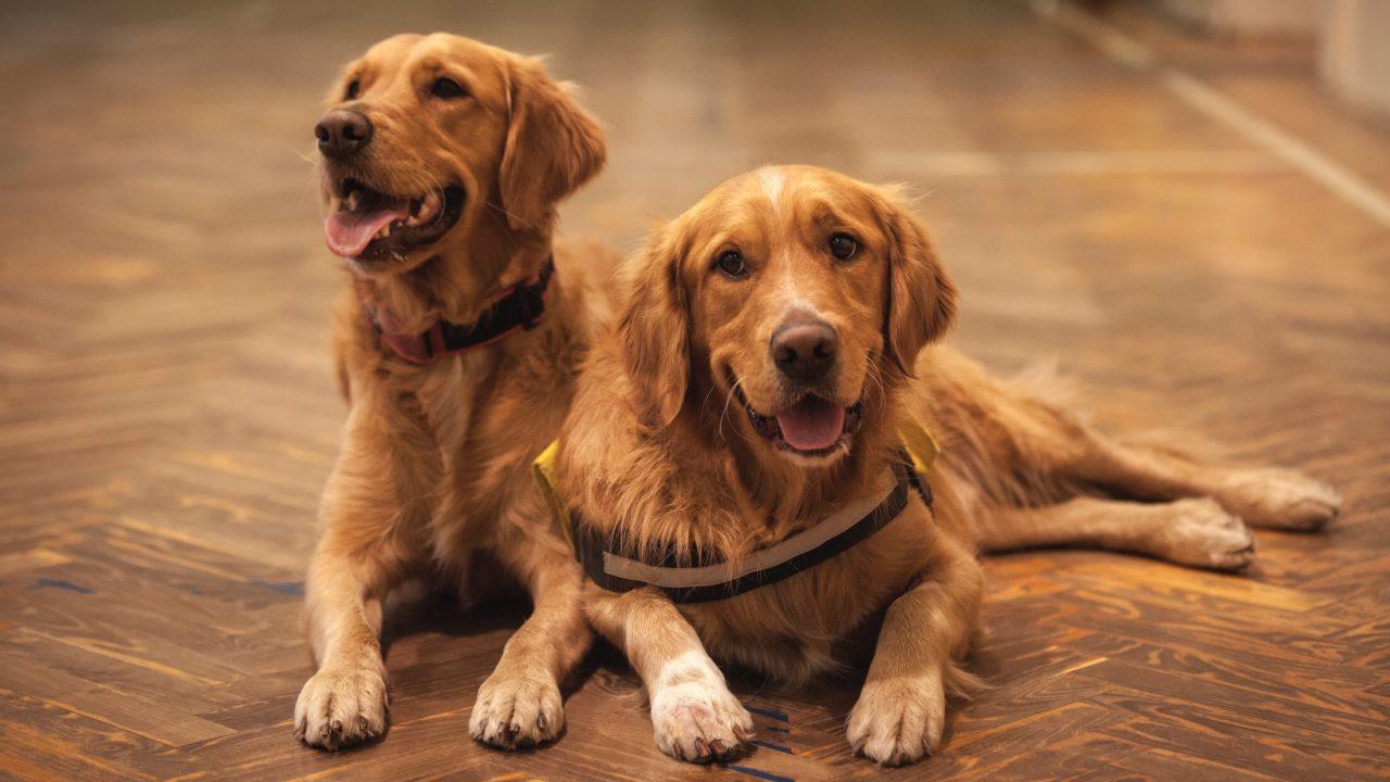 二匹の犬が伏せをしながらどこかをみている