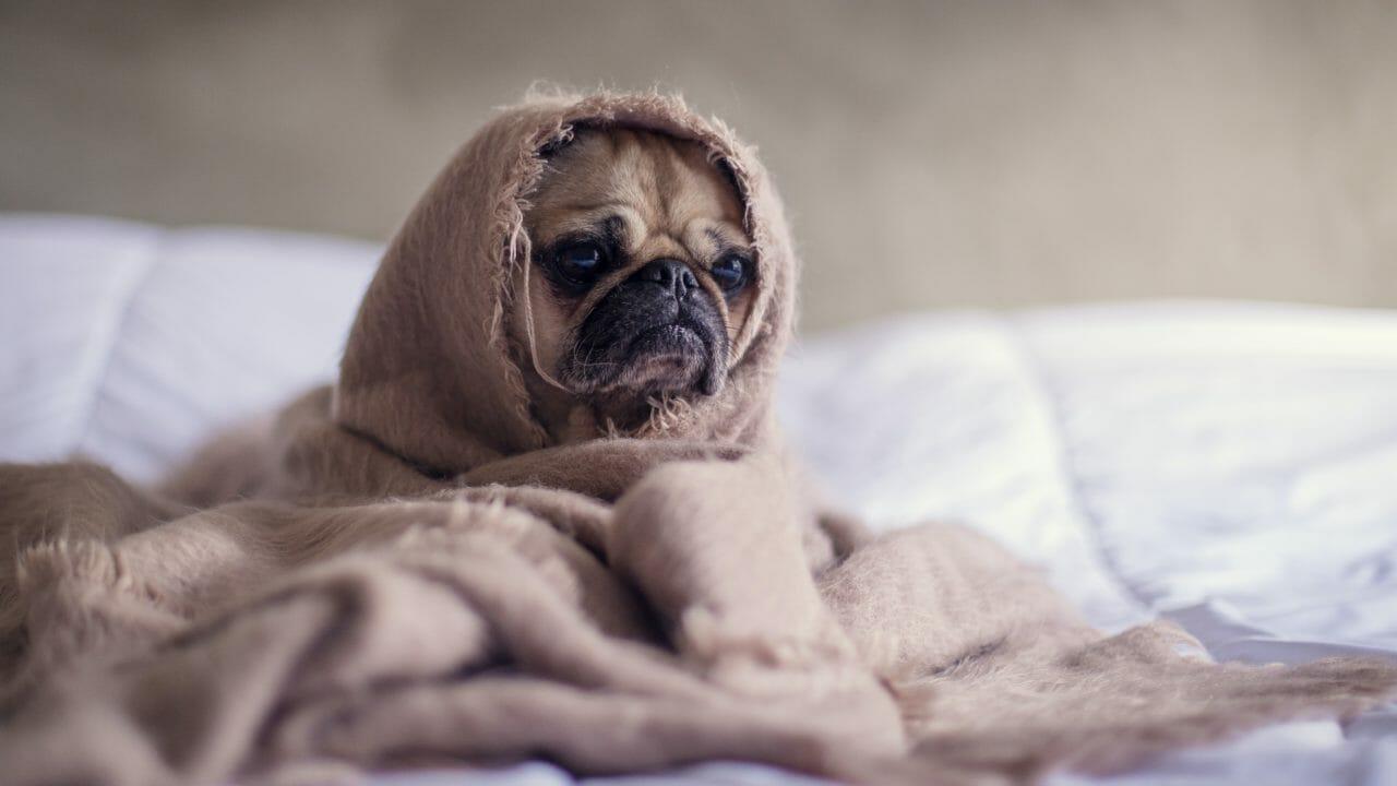 毛布をかぶって寂しそうな犬