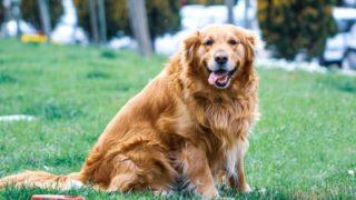 芝生で座ってこちらをみている犬
