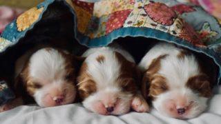 布団を着て寝ている3匹の子犬