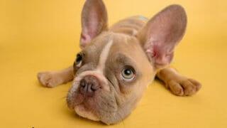飼い主を上目遣いで見上げる犬
