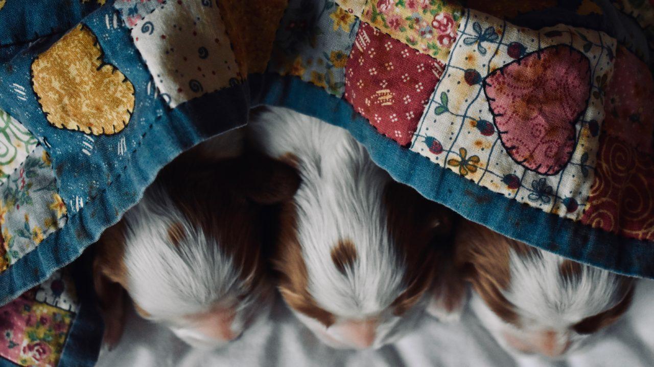 布団に入って寝ている3匹の子犬の頭