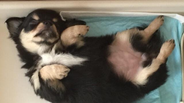 お腹を出して寝ている犬(トイレの上)
