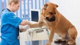 怪我の治療をしている犬