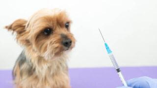 予防注射を受ける犬